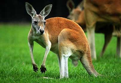 4.4_kangaroo