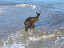 Kangaroo in water